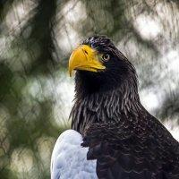 Белокрылый орлан. :: Сергей Ключарёв