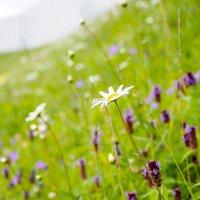 полевые цветы :: Олеся Семенова