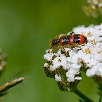 Пестряк пчелиный :: Александр Синдерёв