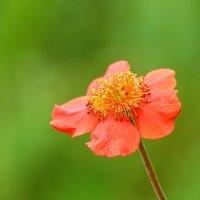цветок :: Laryan1