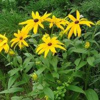Рудбекия - неприхотливый цветок :: Маргарита Батырева
