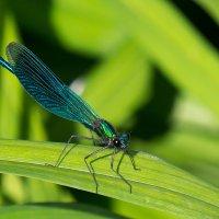 Красотка-девушка (лат. Calopteryx virgo) :: Алексей Корепин