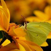 на жёлтом цветке 1 (капустница) :: Александр Прокудин