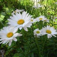 Белые ромашки, словно чистая вода :: Маргарита Батырева