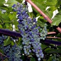 Винная ягода зреет...Ёмкости под напиток готовы... :: Aлександр **