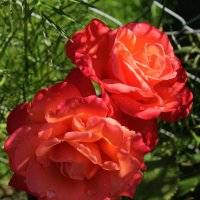 Розы :: Eduard Mezker