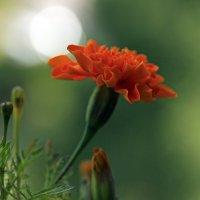 цветок бархатца :: оксана