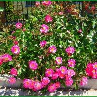 Июньские розы. :: Любовь К.