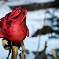 Зимняя роза :: Алекс Исаенко