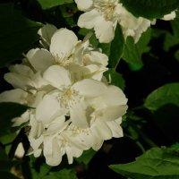 чубушник (жасмин садовый) :: pich