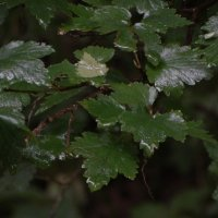 лесная смородина после дождя :: Михаил Жуковский