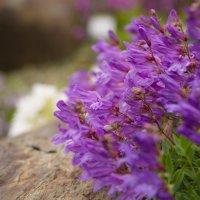Северный цветок. :: Инта