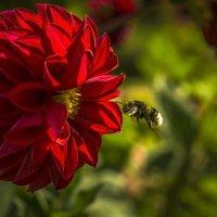Полет шмеля на цветок :: Алексей Строганов