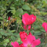 розовые розы :: Евгения Чередниченко