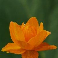 А на даче цветут жарки... :: Николай Мальцев