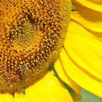 Пчела :: Евгений