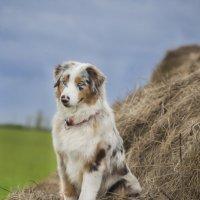 Ответственная собака :: Юлия Дроздова