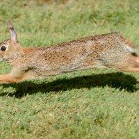 Дикий кролик :: Michael Averkiev