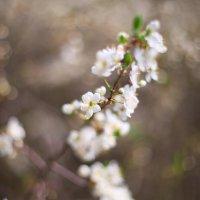 цветение :: Евгения Ильчук