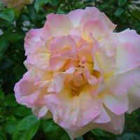 """""""Почему так сладко пахнут розы, Принося сумятицу в сердца? ...."""" :: Galina Dzubina"""
