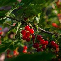 Красная смородина :: Павел Харлин