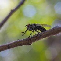 Просто муха... :: НИКОЛАЙ САРЖАНОВ