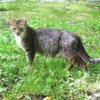 Гуляющая сама по себе кошка :: Маргарита Батырева