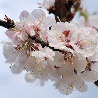 Sakura :: Колибри М