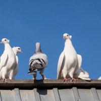 голуби :: Natalia SabliNA