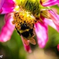 Пчелка в работе :: Llueve )