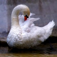 Лебедушка. :: Наталья