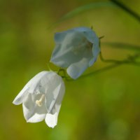 Колокольчик альбинос!!! :: Олег Кулябин