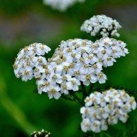 Белый цветок :: Роман Кудрин