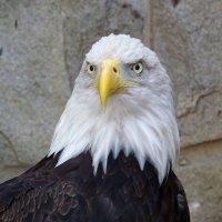 Белоголовый орлан :: Константин Ординарцев