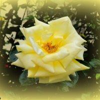 Жёлтая роза :: Нина Бутко