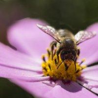 Пчела :: Игорь Бочкарев