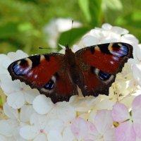 Бабочка павлиний глаз :: Татьяна Помогалова
