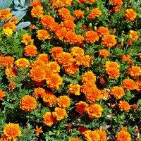 Оранжевое лето :: Светлана