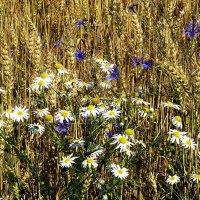 """""""Стеной стоит пшеница золотая..."""" :: Лесо-Вед (Баранов)"""
