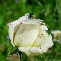 Роза с жуком :: Вера Щукина