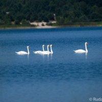 Горделиво проплывали девять белых лебедей :: Сергей