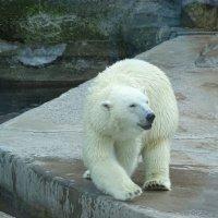 Белый медведь :: Константин Ординарцев