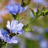 Пронзителен цвет голубой... :: Татьяна Смоляниченко
