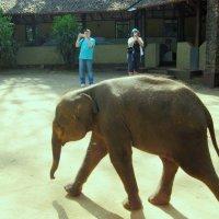 Цейлонский  слоненок, гуляющий сам по себе..)) :: ЛЮБОВЬ ВОРОЖБИТ
