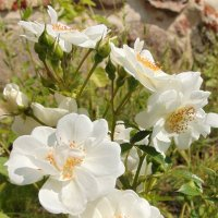 Дикая роза :: spm62 Baiakhcheva Svetlana