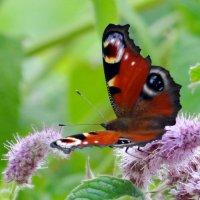 Бабочка павлиний глаз на мяте.**** :: Алексей Цветков
