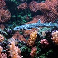 коралловая кошачья акула. :: Alexander Andronik