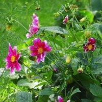 Весёлые ребята до поздней осени радуют яркими цветами :: Маргарита Батырева