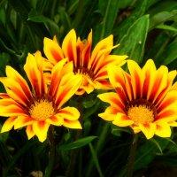 Солнечные головки :: Дарья Неживая