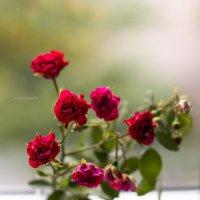Роза :: Елена Дорогина